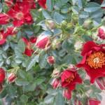 Rose Tapis Rouge